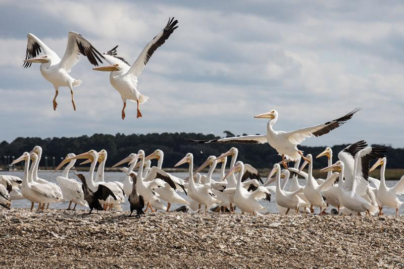 White-Pelicans,-a-rare-sighting-in-Charleston.